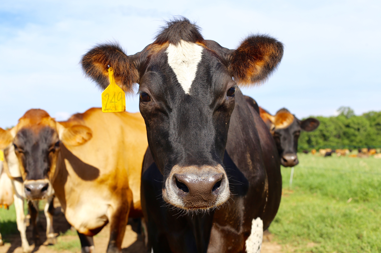 Cindale Farm Cow